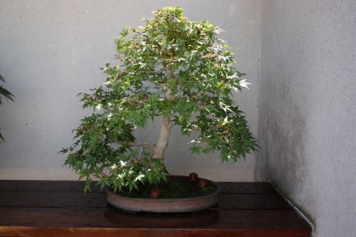 Bonsai 1180 - Fran Rives