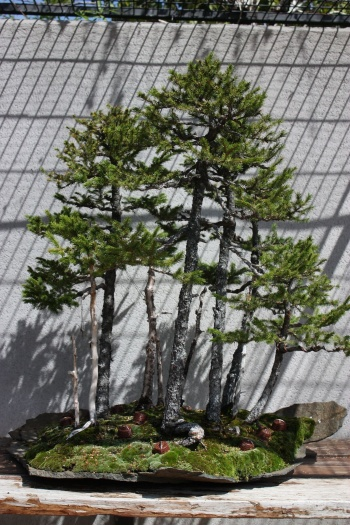 Bonsai 1196 - Fran Rives