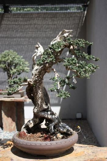 Bonsai 1200 - Fran Rives