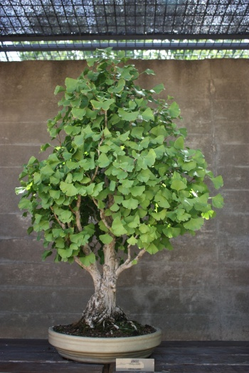 Bonsai Ginkgo Biloba - Fran Rives
