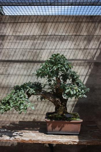 Bonsai 1240 - Fran Rives