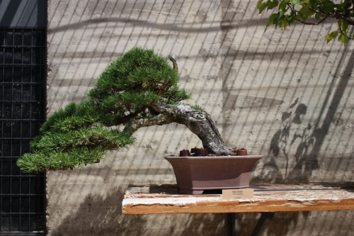 Bonsai Pino Negro - Pinus Uncinata - Fran Rives
