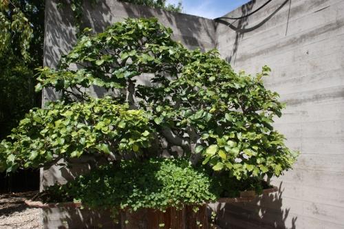 Bonsai Bosque de Hayas - Fran Rives