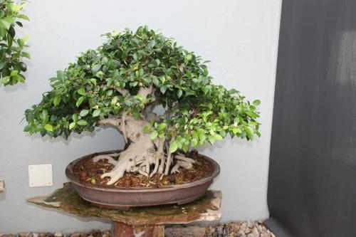 Bonsai Ficus - Museo del Bonsai Alcobendas - Fran Rives