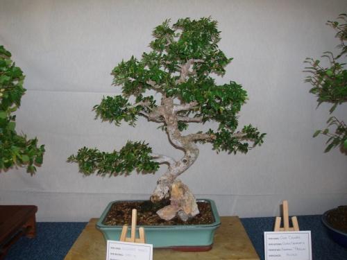 Bonsai Olmo Chino - Ulmus Parvifolia - Assoc. Bonsai Muro