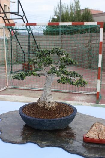 Bonsai Acebuche - Olea Europaea Sylvestris - Olivera - Assoc. Bonsai Cocentaina