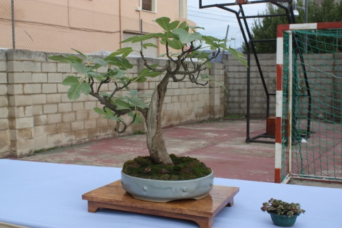 Bonsai Ficus - Ficus Carica - Assoc. Bonsai Cocentaina