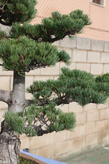 Bonsai Pino de cinco Agujas - Pinus - Assoc. Bonsai Cocentaina