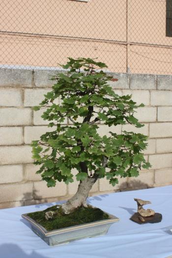 Bonsai Acer Opalus Granatense - Assoc. Bonsai Cocentaina