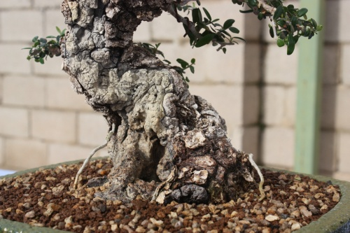 Bonsai Olea Europaea Sylvestris - Assoc. Bonsai Cocentaina