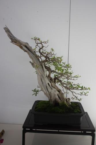 Bonsai Granado - Punica Granatum - Murciano