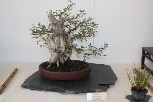 Bonsai Punica Granatum - Murciano