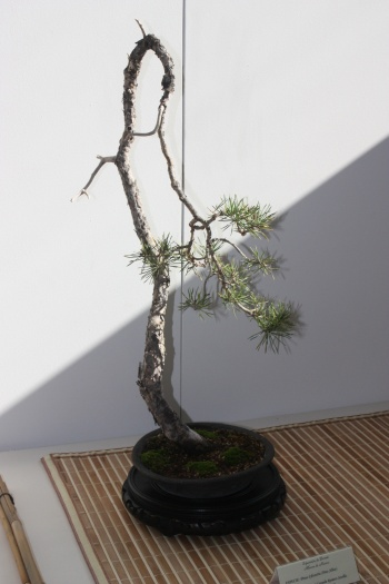 Bonsai Pinus Sylvestris - Pino Albar - Murciano