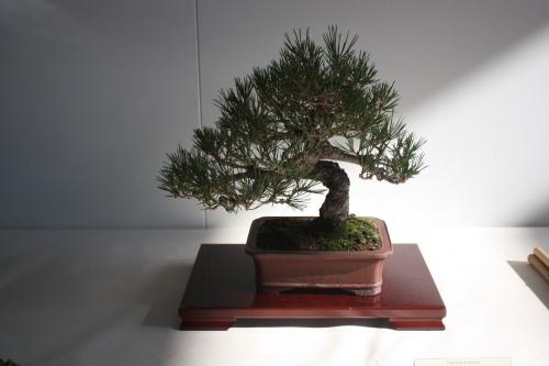 Bonsai Pino Negro Japones - Pinus Thumgergii - Murciano