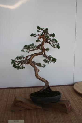 Bonsai Junipero Chinensis por Erasmo Garcia - Murciano