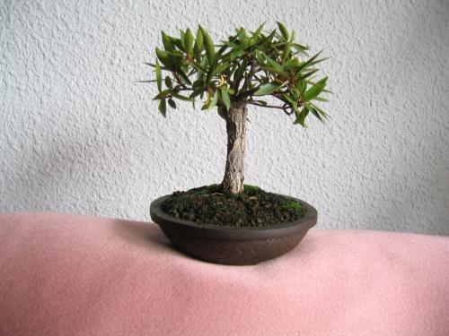 Bonsai Ficus subulata - Laurel de Celebes - josegoderi