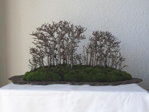 Bonsai BOSQUE DE OLMOS. Ulmus glabra (montano) - josegoderi