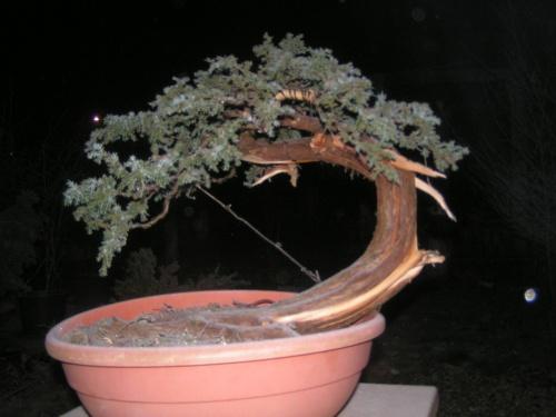 Bonsai connunis yammadori - machiel van den broek