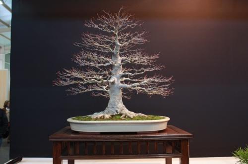Bonsai Acer Palmatum - Jose Manuel Frontan Salas - EBA Lorca