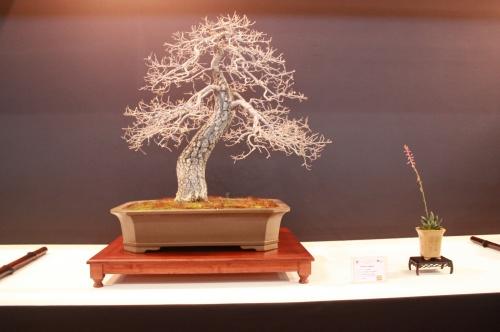 Bonsai Quercus Faginea - Antonio Torres Vazquez - EBA Lorca