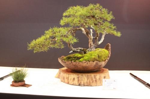 Bonsai Pinus Uncianta - Milos Vurbs - EBA Lorca