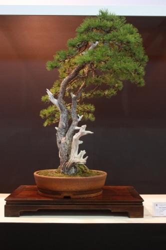 Bonsai Pinus Uncinata - Vaclav Novak - EBA Lorca