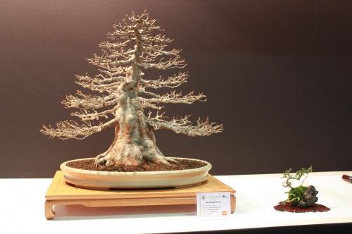 Bonsai Arce - Acer Burgerianum - German Gomez - EBA Lorca