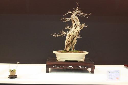 Bonsai Bonsai Zen - Punica Granatum - EBA Lorca