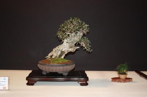 Bonsai Olea Europaea variedad sylvestris - Molina Rodriguez - EBA Lorca