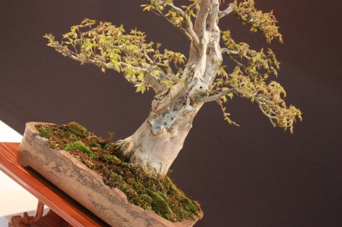 Bonsai Arce Tridente - Jose Machado - EBA Lorca