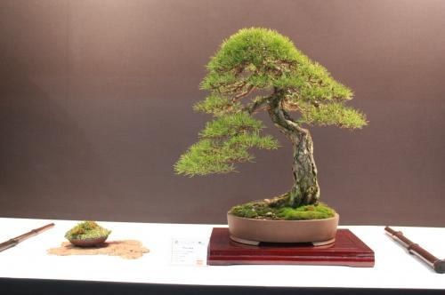 Bonsai Pinus Nigra - Pino Negro - EBA Lorca
