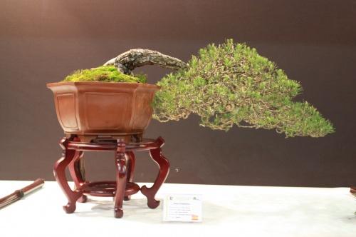 Bonsai Pinus Halepensis - Joan Tomas Cañellas - EBA Lorca