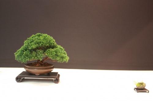 Bonsai Juniperus Chinensis - Sabina - Reg Bolton - EBA Lorca