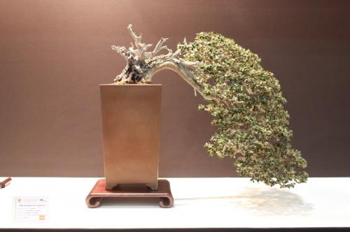 Bonsai Olea Europaea - Victor Miralles Guardiola - EBA Lorca