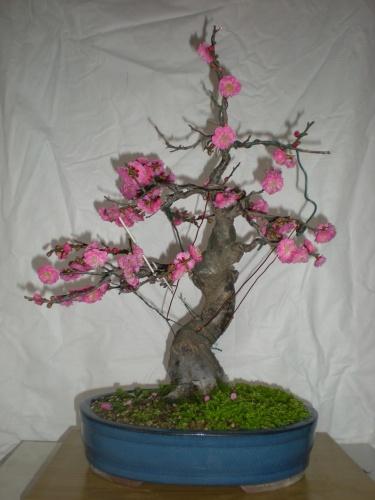 Prunus mume-1