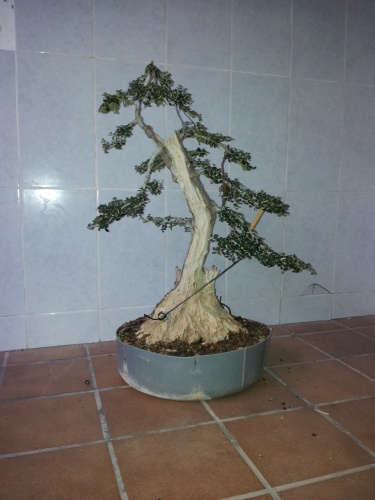Bonsai [acebuche 15 - aviguer