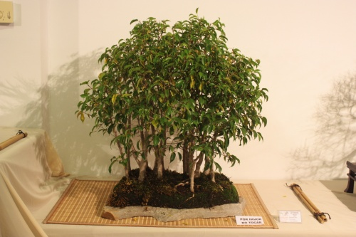 Bonsai Bosque de Ficus Natacha - CBALICANTE