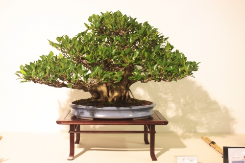 Bonsai Ficus Retusa - Jaume Canals - CBALICANTE