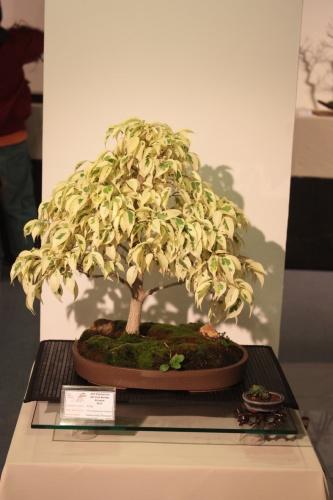 Bonsai Ficus Variegata - CBALICANTE