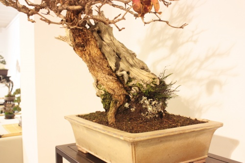 Bonsai Granado - Detalle del tronco - CBALICANTE