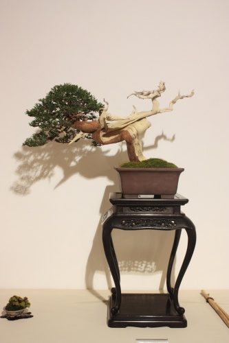 Bonsai Sabina y Planta de Acento - CBALICANTE