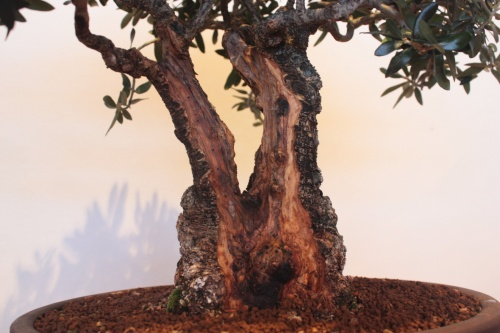 Bonsai Doble Tronco Olivera - Assoc. Bonsai Muro