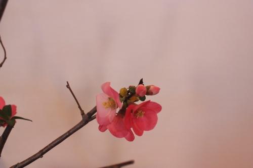 Bonsai Detalle flor de Prunus - Assoc. Bonsai Muro