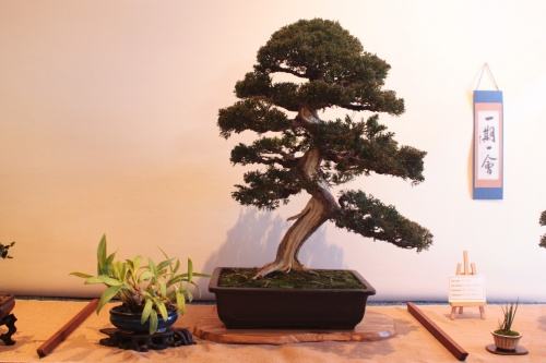 Bonsai Juniperus Chinensis - Assoc. Bonsai Muro