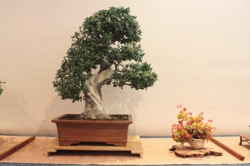 Bonsai Olea Europaea - Olivera - Assoc. Bonsai Muro