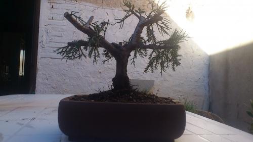 Bonsai juniperus  - javel