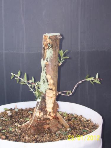 Olivo limpiando de ramas