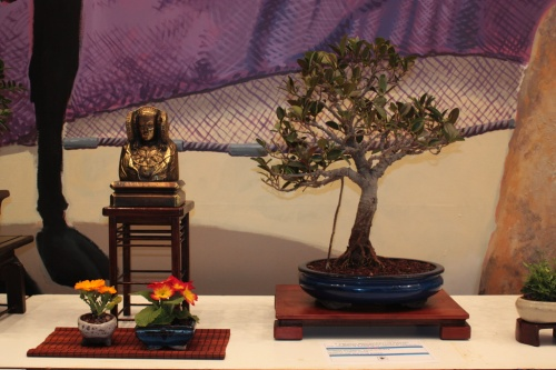 Bonsai Ficus Robusta - Elx Club Bonsai - torrevejense
