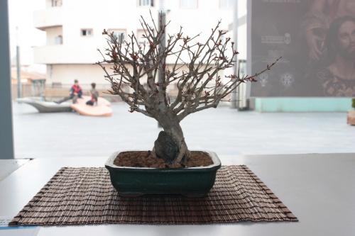 Bonsai Granado - Asociación Mediterránea del Bonsái - torrevejense