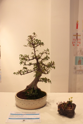 Bonsai Arce - Club Bonsai Oriol - torrevejense